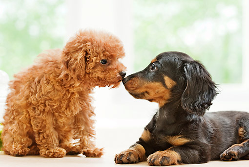 PUP 11 YT0001 01 © Kimball Stock Toy Poodle And Miniature Dachshund Puppies Nose To Nose
