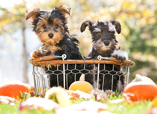 PUP 11 YT0002 01 © Kimball Stock Yorkshire Terrier And Miniature Schnauzer Puppies Sitting In Basket By Gourds