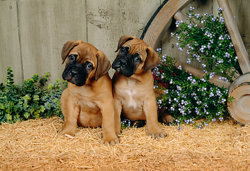 PUP 11 FA0001 01 © Kimball Stock Two Bullmastiff Puppies Sitting On Hay By Wagon Wheel