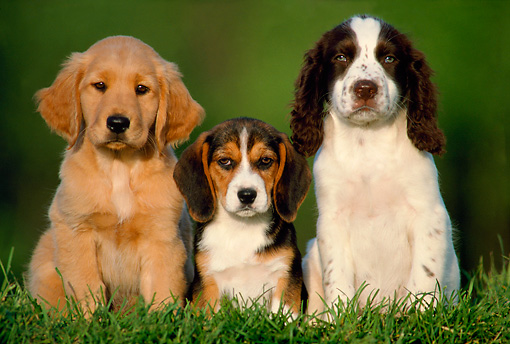 PUP 11 GR0001 01 © Kimball Stock Golden Retriever Beagle And English Springer Puppies Sitting Together On Grass