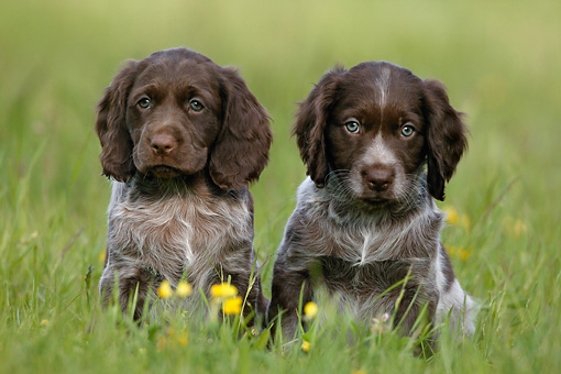 PUP 11 KH0004 01 © Kimball Stock Saint Usuge Spaniel Puppies Sitting In Field