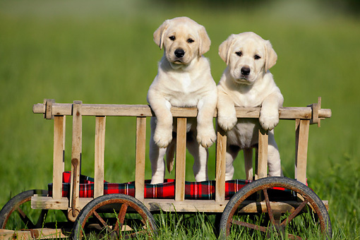 PUP 11 KH0005 01 © Kimball Stock Two Yellow Labrador Retriever Puppies Standing In Cart In Field