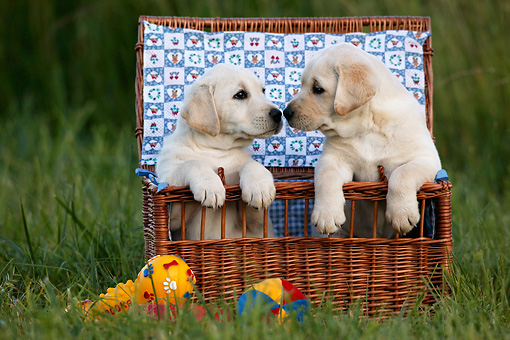PUP 11 KH0006 01 © Kimball Stock Two Yellow Labrador Retriever Puppies Sitting In Basket In Field