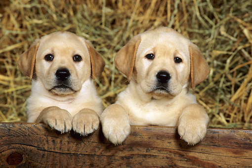 PUP 11 KH0007 01 © Kimball Stock Two Yellow Labrador Retriever Puppies Sitting By Wood Plank