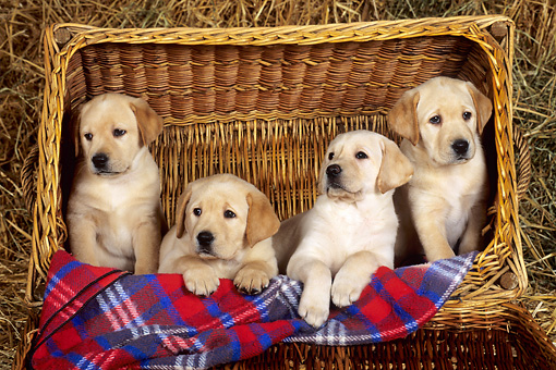 PUP 11 KH0008 01 © Kimball Stock Four Yellow Labrador Retriever Puppies Sitting In Basket With Plaid Blanket
