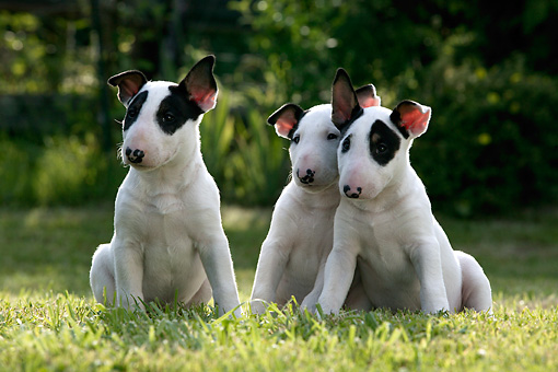 PUP 11 KH0010 01 © Kimball Stock Three Bull Terriers Sitting In Field