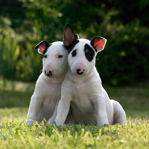 PUP 11 KH0011 01 © Kimball Stock Two Bull Terriers Sitting In Field