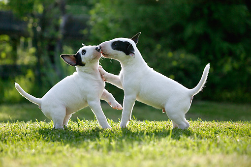 PUP 11 KH0012 01 © Kimball Stock Two Bull Terriers Playing In Field