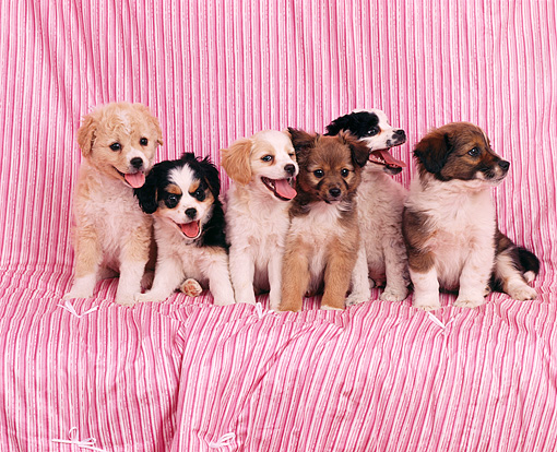 PUP 11 RK0005 08 © Kimball Stock A Group Of Mixed Breeds Sitting Together On Pink Striped Blanket Facing Camera