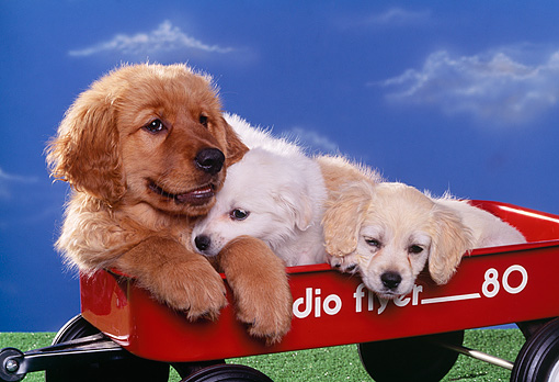 PUP 11 RK0011 02 © Kimball Stock A Group Of Puppies Laying Together In Red Wagon Blue Sky Background