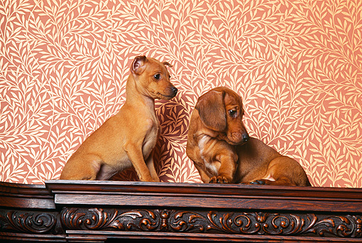 PUP 11 RK0019 01 © Kimball Stock Dachshund And Mini Pinscher Puppies Sitting Together On Wooden Table Wallpaper Print Background