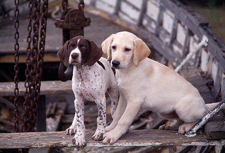 PUP 11 RK0038 03 © Kimball Stock Pointer And Labrador Puppies Sitting In Boat