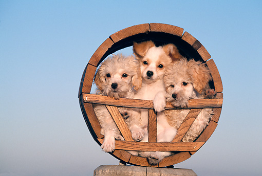 PUP 11 RK0042 01 © Kimball Stock Miniature Poodles And Papillon Puppies In Wooden Circle Facing Camera Blue Sky