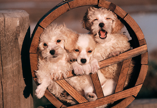 PUP 11 RK0043 03 © Kimball Stock Miniature Poodles And Papillon Puppy In Wooden Circle By Wooden Stump