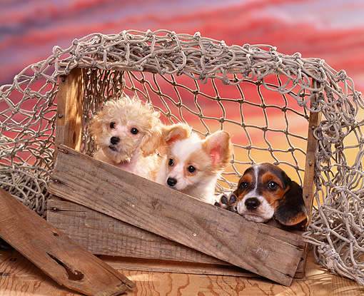 PUP 11 RK0049 07 © Kimball Stock Basset Poodle And Papillon Sitting Inside Crate With Rope Sunset Background