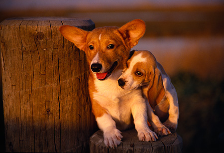 PUP 11 RK0054 04 © Kimball Stock Welsh Corgis And Beagle Puppies Sitting On Wooden Stump At Dusk