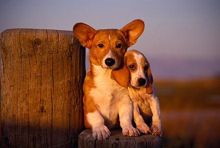 PUP 11 RK0054 11 © Kimball Stock Welsh Corgis And Beagle Puppies Sitting On Wooden Stump At Dusk