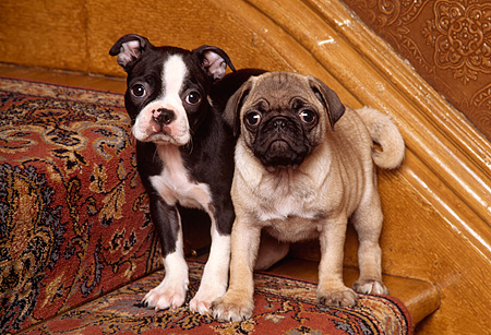 PUP 11 RK0060 03 © Kimball Stock Boston Terrier And Pug Puppies Standing On Carpeted Stairs