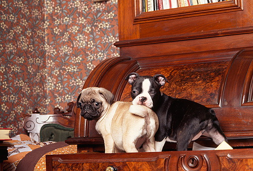 PUP 11 RK0061 01 © Kimball Stock Pug And Boston Terrier Puppies Playing In Drawer