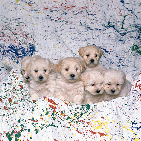 PUP 11 RK0063 03 © Kimball Stock A Group Of White Mixed Breed Puppies Sitting Together In Splatterd Paint Sheet