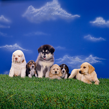 PUP 11 RK0077 03 © Kimball Stock Group Of Puppies On Grass Facing Camera Blue Sky Background