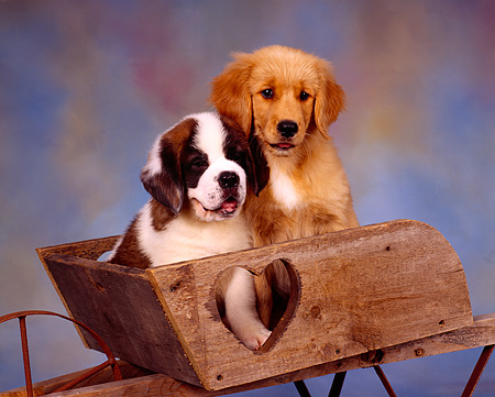 PUP 11 RK0085 01 © Kimball Stock St.Bernard And Golden Retriever Puppies Sitting In Wheelbarrel Facing Camera Mottled Background