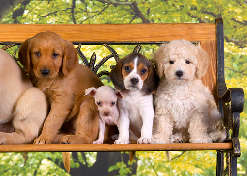 PUP 11 RK0116 01 © Kimball Stock Group Of Puppies On Bench Trees Backround Studio