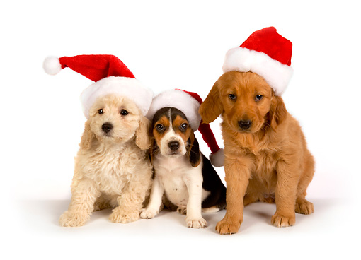PUP 11 RK0127 01 © Kimball Stock Poodle Beagle And Golden Retriever Puppies Wearing Santa Hats On Seamless