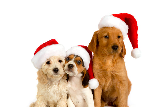 PUP 11 RK0128 01 © Kimball Stock Poodle Beagle And Golden Retriever Puppies Wearing Santa Hats On Seamless