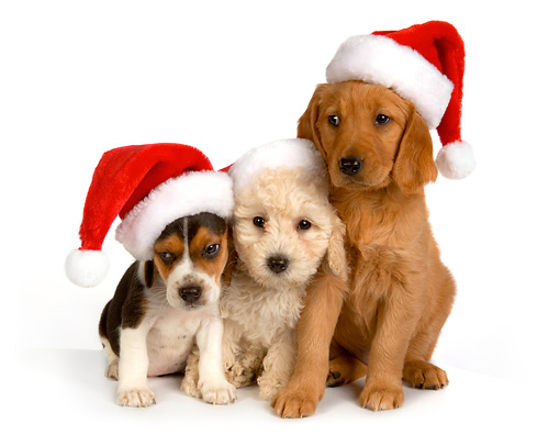 PUP 11 RK0132 01 © Kimball Stock Poodle Beagle And Golden Retriever Puppies Wearing Santa Hats On Seamless