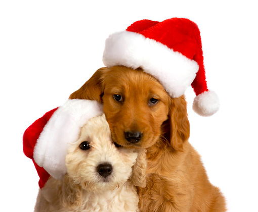 PUP 11 RK0142 01 © Kimball Stock Poodle And Golden Retriever Puppy Wearing Santa Hat On White Seamless
