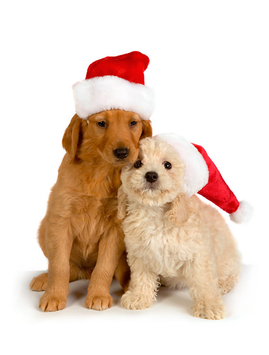 PUP 11 RK0143 01 © Kimball Stock Poodle And Golden Retriever Puppy Wearing Santa Hat On White Seamless