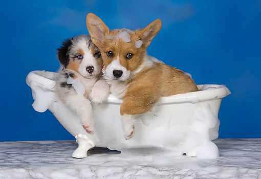 PUP 11 RK0149 01 © Kimball Stock Australian Shepherd And Welsh Corgi Laying In Bathtub Studio
