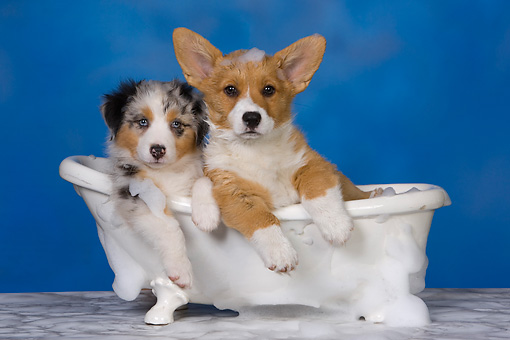 PUP 11 RK0150 01 © Kimball Stock Australian Shepherd And Welsh Corgi Laying In Bathtub Studio