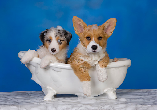 PUP 11 RK0151 01 © Kimball Stock Australian Shepherd And Welsh Corgi Laying In Bathtub Studio