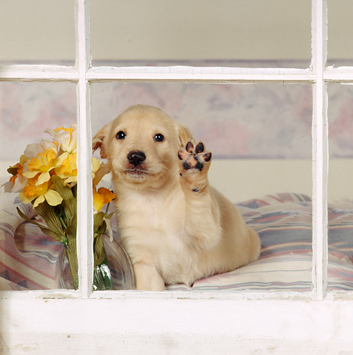 PUP 11 RS0020 03 © Kimball Stock Golden Retriever Puppy Pawing At Window