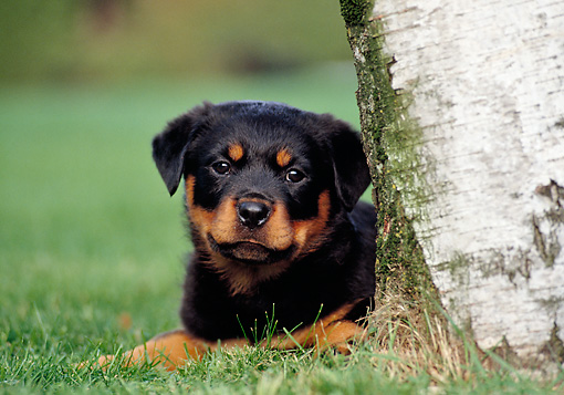PUP 12 CB0009 01 © Kimball Stock Rottweiler Puppy Laying On Grass By Tree Trunk