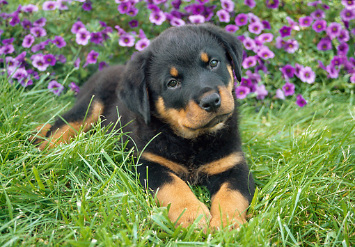 PUP 12 GR0007 01 © Kimball Stock Rottweiler Puppy Laying On Grass By Purple Flowers