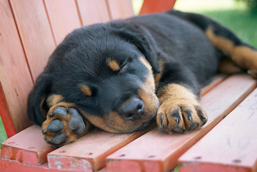 PUP 12 GR0015 01 © Kimball Stock Rottweiler Puppy Sleeping On Outdoor Chair