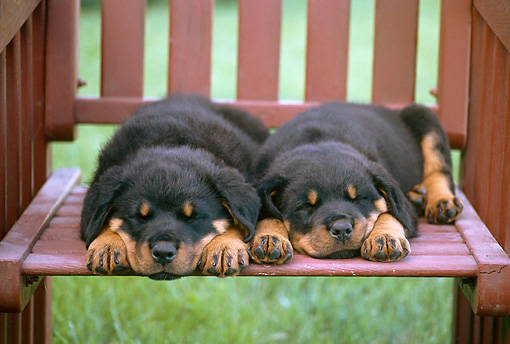 PUP 12 GR0026 01 © Kimball Stock Rottweiler Puppies Sleeping On Outdoor Chair