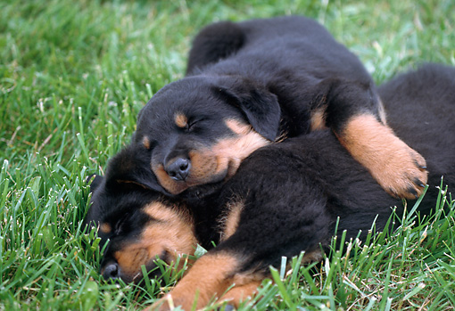 PUP 12 GR0027 01 © Kimball Stock Rottweiler Puppies Sleeping On Lawn