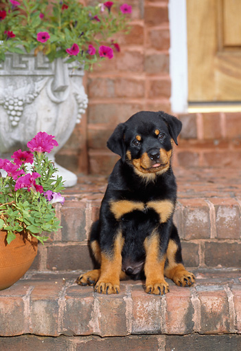 PUP 12 CE0001 01 © Kimball Stock Rottweiler Puppy Sitting On Brick Step By Pink Flowers