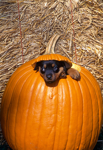 PUP 12 CE0005 01 © Kimball Stock Rottweiler Puppy Peeking Out Of Pumpkin By Straw Bale