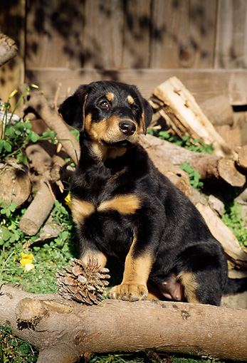 PUP 12 RC0001 01 © Kimball Stock Portrait Of Rottweiler Puppy Sitting On Woodpile By Fence Pinecone