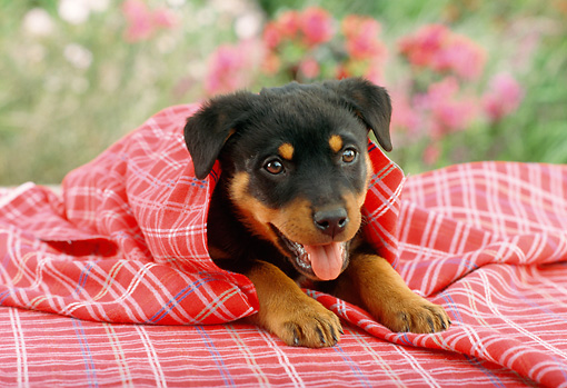 PUP 12 RC0005 01 © Kimball Stock Portrait Of Rottweiler Puppy Laying Wrapped In Red And White Tablecloth By Flowers
