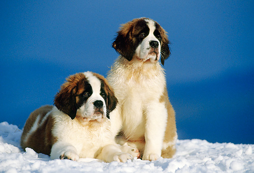 PUP 13 KH0002 01 © Kimball Stock Saint Bernard Puppies Laying And Sitting In Snow