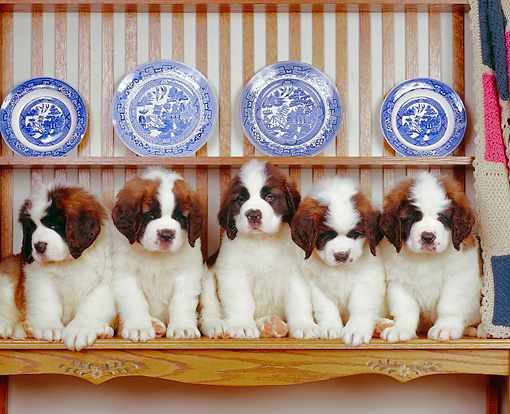 PUP 13 RK0003 08 © Kimball Stock A Row Of St.Bernard Puppies Sitting On Hutch With Blue Plates