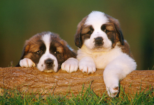 PUP 13 GR0011 01 © Kimball Stock Two Saint Bernard Puppies Resting On Log On Grass