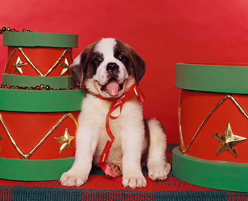 PUP 13 RK0001 03 © Kimball Stock St.Bernard Puppy Sitting With Red Bow Around Neck By Christmas Drums Red Background