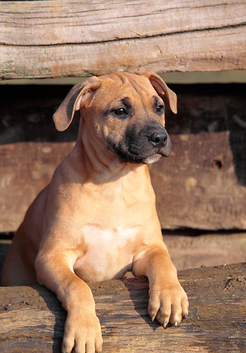 PUP 14 AB0001 01 © Kimball Stock American Staffordshire Terrier Puppy Leaning On Wooden Fence